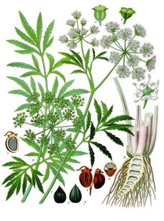 Cicuta_virosa_-_Köhler–s_Medizinal-Pflanzen-038_cropped