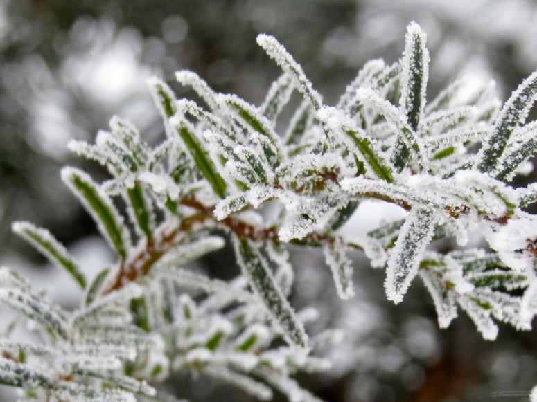Frost on spruce. Photo from www.tOrange.us