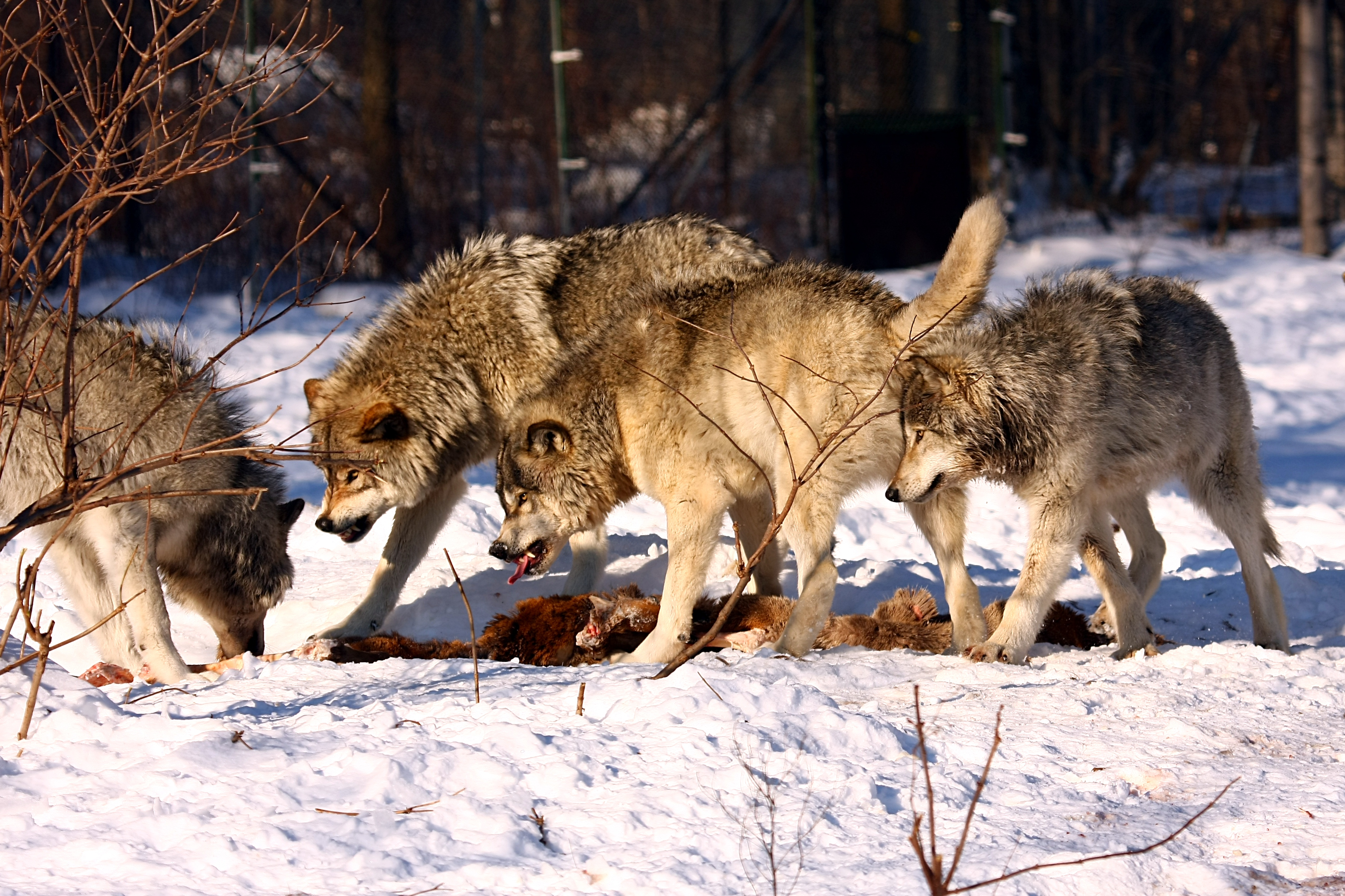 Timber_wolves_fighting