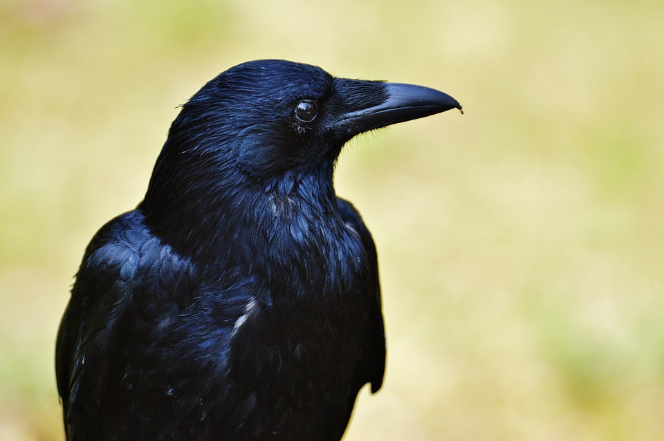 raven-1347374_960_720