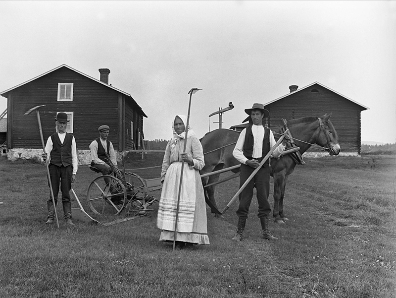 Harvesting using self-made wooden rakes, in Haverö, Sweden, early 1900s