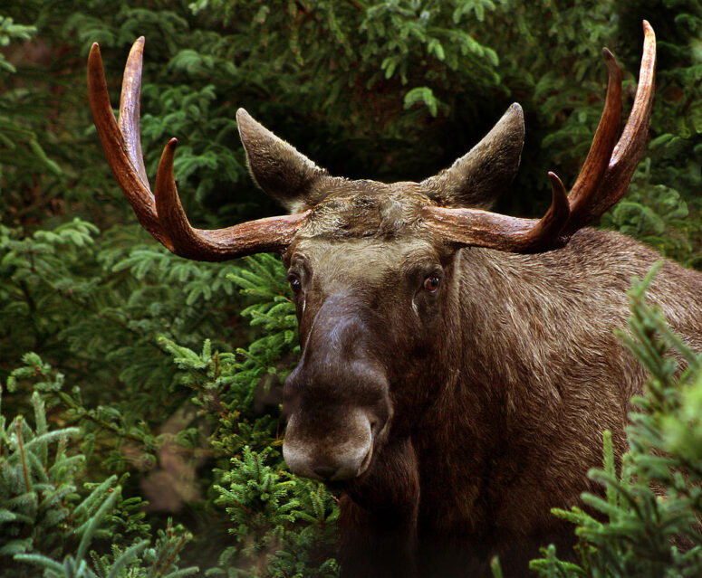 Scandinavian moose bull