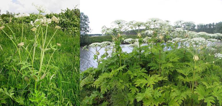 hogweed-giant-hogweed