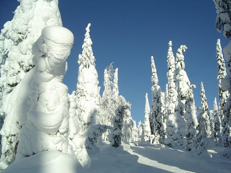 """Snow-covered fir trees"" av photo taken by User:Muu-karhu - Eget arbete. Licensierad under CC BY-SA 3.0 via Wikimedia Commons."