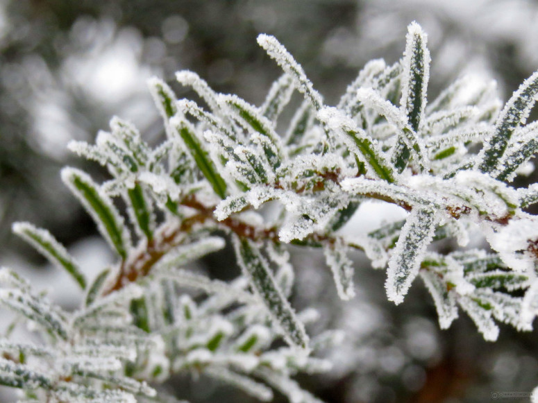 Frost on spruce. Photo from www.tOrange.us
